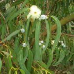 Eukaliptusz globulus